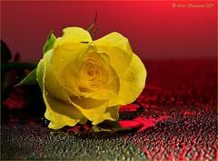 20091108_2437 (Lino Sgaravizzi ) Tags: flora rosa natura drop giallo fiori acqua rosso excellentsflowers