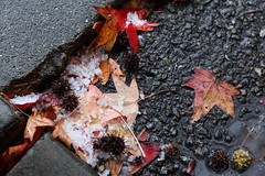 winter storm fallout (1600 Squirrels) Tags: california usa wet hail concrete oakland photo leaf lenstagged maple 1600squirrels eastbay sfbayarea nocal asphalt alamedacounty 3x2 canon24105f4 5dii