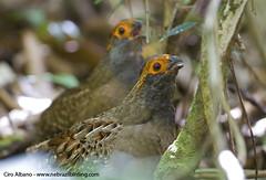 Spot-winged Wood-Quail_Odontophorus capueira
