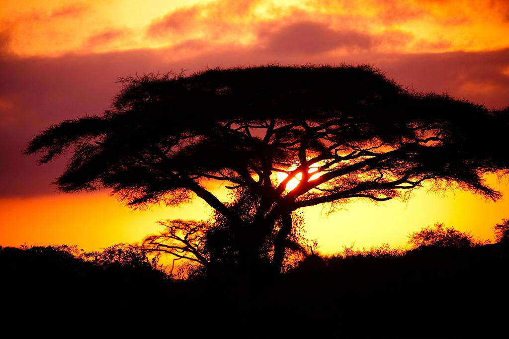 Safari Kenya Amboseil National Park, Acacia Sunset
