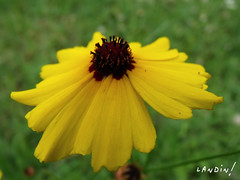 Flower! (Landin-lhf) Tags: flower macro spring fujifilm 59mm finepixs1500 1250secatf40