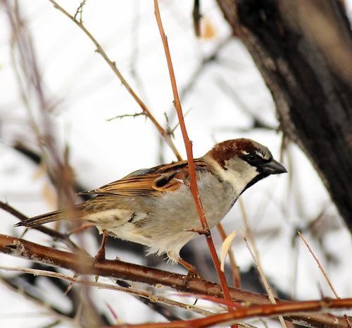 house sparrow in a bush crop