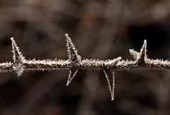 spine (Lace1952) Tags: rose alberi nikon spine anzola ghiaccio d300 vco galaverna cristalli ossola