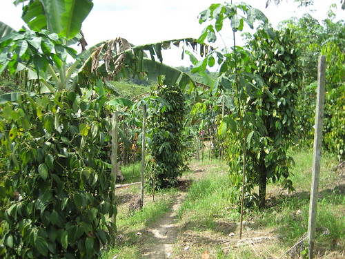 Sarawak Black Pepper Garden
