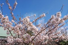 cherry blossomes 16 (Masa K.) Tags: pink spring     cherryblossome