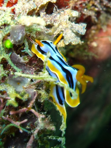 Nudibranch caught mating