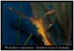 Phyllopteryx taeniolatus _800_02 (Bruno Cortada) Tags: malawi marino mbunas cclidos sudafricanos tanganyica