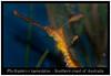 Phyllopteryx taeniolatus _800_02 (Bruno Cortada) Tags: malawi marino mbunas cíclidos sudafricanos tanganyica
