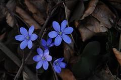Usedom, Ostee - Leberblmchen bei Loddin Klpinsee 1627 (Chironius) Tags: flowers blue flower fleur azul germany deutschland blossom flor blossoms alemania blau fiore blte allemagne ostsee ranunculaceae germania usedom mecklenburgvorpommern hepatica  ranunculales bl uznam azurro leberblmchen  anemonehepatica anemoneae   hahnenfusgewchse ranunculoideae hahnenfusartige