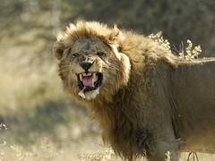Dentist Please! (Makgobokgobo) Tags: africa male mammal lion botswana predator cha wma okavango barros panthera pantheraleo okavangodelta wildlifemanagementarea santawani dogcamp ng33 okavangowildlifemanagementarea controlledhuntingarea