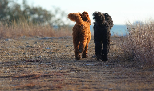フリー画像| 動物写真| 哺乳類| イヌ科| 犬/イヌ| 恋人/カップル| スタンダード・プードル|     フリー素材|