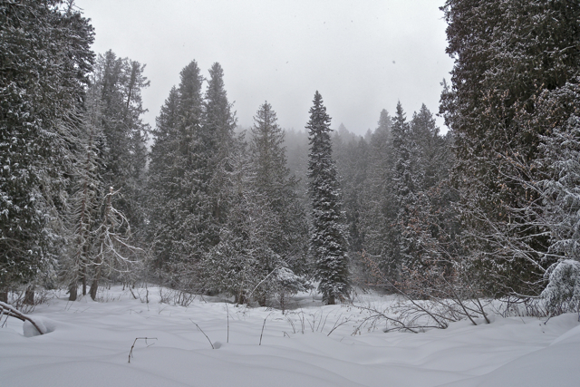 Snowshoeing in the Ancient Forest