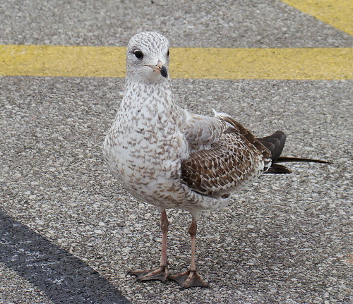 parking lot camo gull