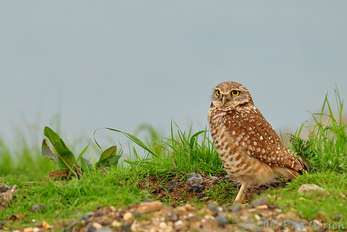 Burrowing Owl at Cesar Chavez Park