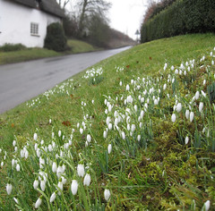 Those snowdrops again