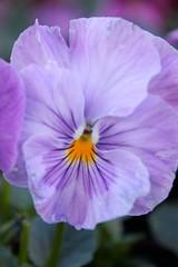 Purple With a Hint of Yellow (Nicholas Seidl Photography) Tags: flower macro beautiful up field yellow closeup pretty close purple depth pansie
