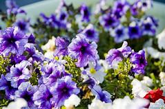 Velvet Group (Kooltug) Tags: flowers kooltug
