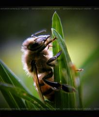 Abeja (Gerardo 2010) Tags: chile naturaleza insectos macro verde fuji pasto desenfoque fujifilm fotografia abeja region gerardo maule septima regiondelmaule septimaregion gerardo2010