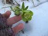 Un piccolo anemone nella neve