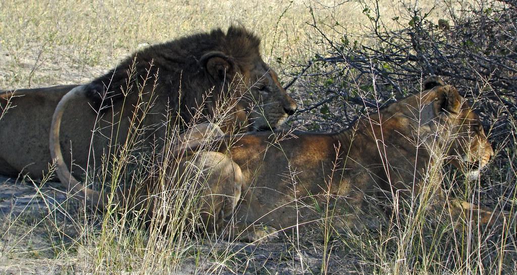 DSC08285 Lion and Lioness