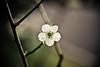 Takeshita Shizunojo (Stéphane Barbery) Tags: flower fleur japan fleurs kyoto 日本 花 ume japon prune 梅 gosho prunier barbery