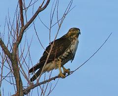 Red Tailed Hawk (Birdman of El Paso) Tags: blue red sky texas hawk tx joe el lila raptor paso tailed birdman soop grossinger