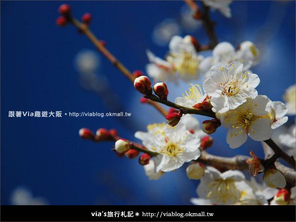 【via關西冬遊記】大阪城天守閣!冬季限定:梅園梅花盛開14