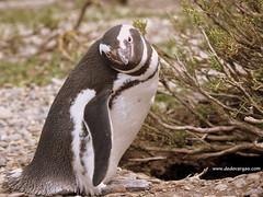 Hola!! (Ded Vargas - Travel Writer) Tags: patagonia paisajes naturaleza praia beach argentina pinguinos natureza playa paisaje aves paisagem riogallegos praias playas paisagens sudamerica americadosul pinguins patagoniaargentina pinguinera estrechodemagallanes contemplacion estreito contemplao contemplacin animaismarinhos pinguineira naturalezasalvaje naturezaselvagem animalesmarios