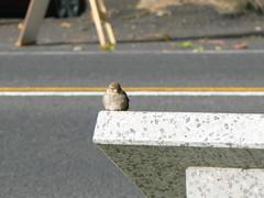 P1240966 (philrickerby) Tags: cambridge newzealand sparrow waikato