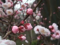 ume blossoms (edorune) Tags:  umeblossoms