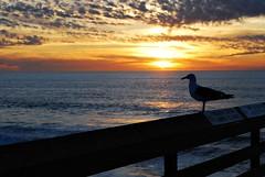 Seagull (Sërch) Tags: california sunset beach atardecer sandiego seagull gull gaviota imperialbeach supershot nikond60 platinumphoto anawesomeshot theunforgettablepictures theoriginalgoldseal