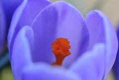 solo-krokus (Christine Bucket) Tags: spring lente krokus nikkor105mmf28gvrmicro cvo2010
