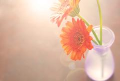 Sun Kissed Daisies (laughlinc) Tags: flowers light stilllife sun flower floral daisies lensflare daisy vase nikond80 cmwdorange thechallengefactory laughlinc platinumpeaceaward coffeeshopsunkissedaction