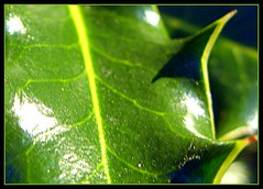 Holly Leaf (George Peck) Tags: christmas shadow color colour reflection green nature reflections march george leaf spring glare shine natural border holly diagonal odd crop sten peck hdr picnik edit 2010 composed georgepeckphotography