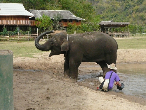 Giving the elephants a bath