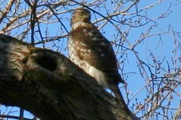 coopers hawk 063 - Copy