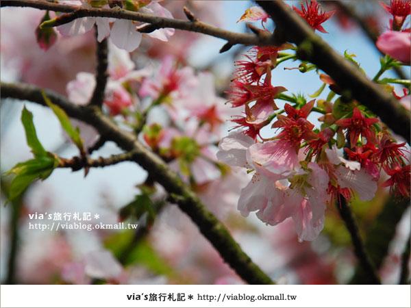 【淡水天元宮櫻花】跟著via賞花趣~天元宮櫻花最新花況3