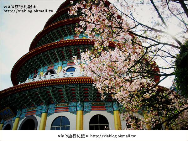 【淡水天元宮櫻花】跟著via賞花趣~天元宮櫻花最新花況21