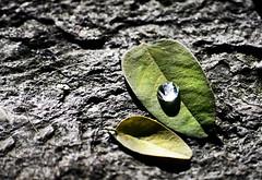 drop (J.Pltner) Tags: green water stone austria sterreich nikon drop blatt stein vcklabruck