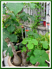 Jatropha podagrica (Gout Plant/Stick, Buddha Belly Plant, Bottleplant Shrub) in the neighbourhood