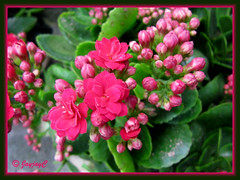 Kalanchoe blossfeldiana (Christmas Kalanchoe, Florist Kalanchoe, Flaming Katy) with cherry-red double flowers, at a garden nursery