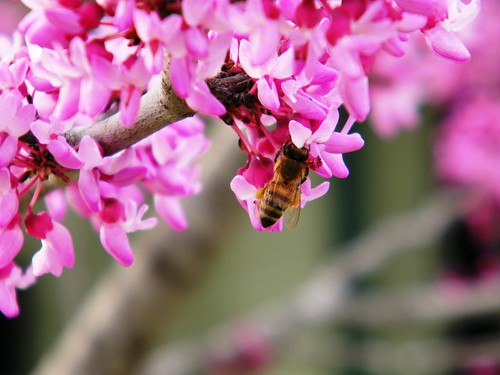Bee in Redbud