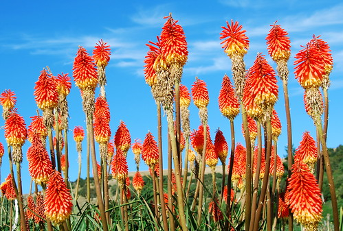 red hot pokers, otago peninsula