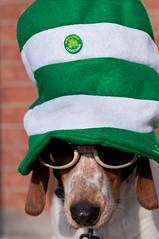 St. Patrick's outtake (Paguma / Darren) Tags: dog goggles hound floyd stpatricksday doggles