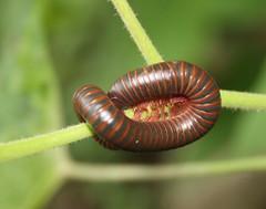 Millipede # 2 (Jay Costello) Tags: wildanimal millipede wildanimals