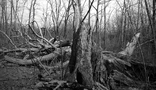 fallen white oak