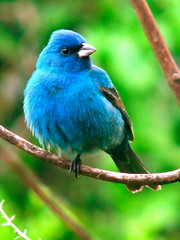 Male Indigo Bunting (Rhonda Murr) Tags: blue bird nature birds branch wildlife beak indigobunting physis wingedwonders colourfulbirds birdsasart gaveyachills naturethroughthelens wingedwonderselite thewonderfulworldofbirds naturescreations natureskingdom