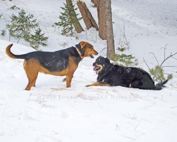 A red hound dog mix dominates a black dog in play.