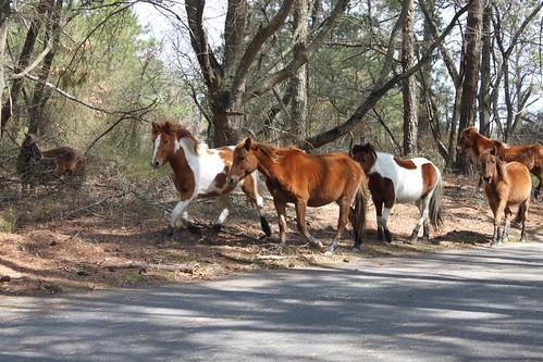 chincoteague island wild ponies