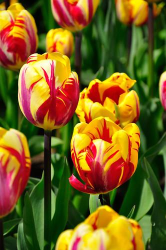 El Cid Triumph Tulips, RoozenGaarde